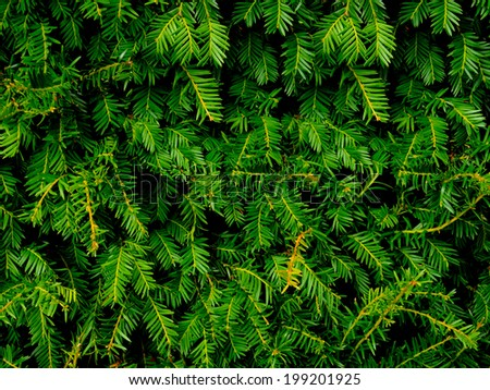 Close-up of Christmas pine fir tree branches background. Background of Christmas tree branches. - stock photo