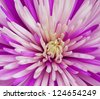 Close-up of chrysanthemum - stock photo