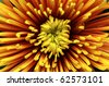 Close-up of chrysanthemum - stock photo