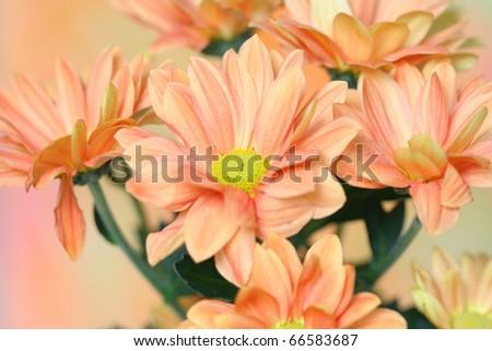 Close-up of   chrysanthemum flower - stock photo