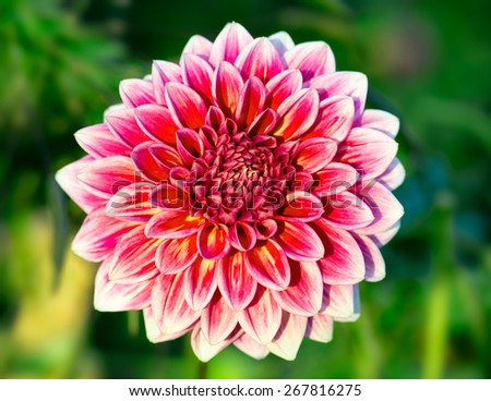 Close-up of chrysanthemum flower. Blossom background. Shallow DOF. - stock photo