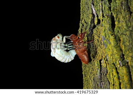Close up of cicada changing its with last molt - the transformation into an adult insect at night - stock photo