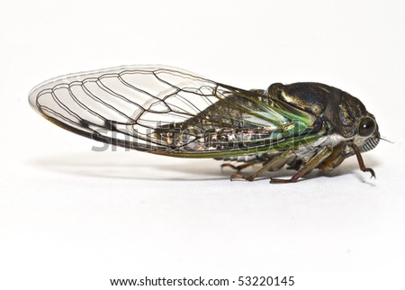 Close-up of Cicada isolated on white background