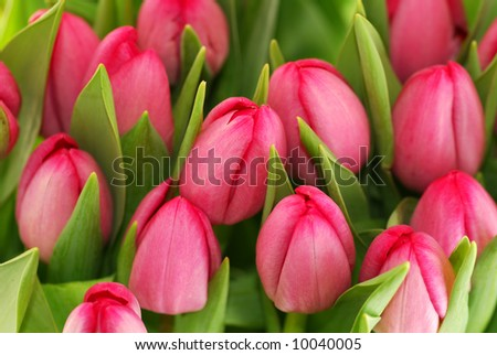 Close-up of closely bundled pink tulips.