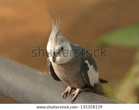 Close up of Cockatiel bird, Nymphicus hollandicus - stock photo
