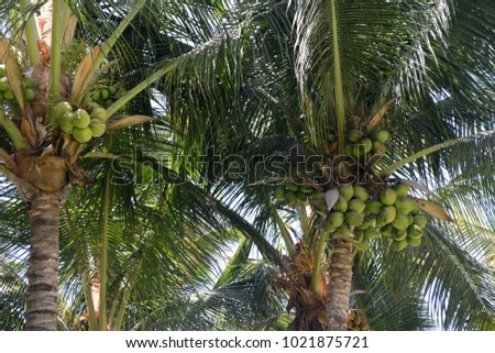 Close up of coconuts in the trees