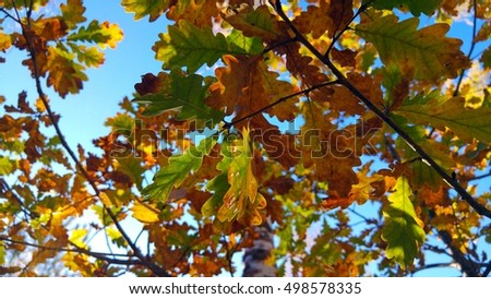 Close up of colorful autumn oak leaves against the sunny blue sky in Northern European forest