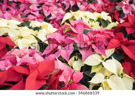 Close Up of Colorful Christmas Poinsettias