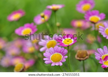 Close Up of Colorful Flower with Blur Background, Edges Flowers a bit blur due to Shallow Depth Of Field and Selective Focus