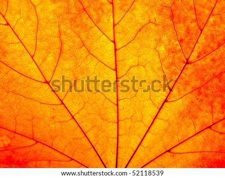 Close up of colorful maple leaf - stock photo