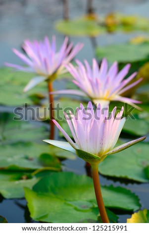 Close-up of colorful pink water lily - stock photo