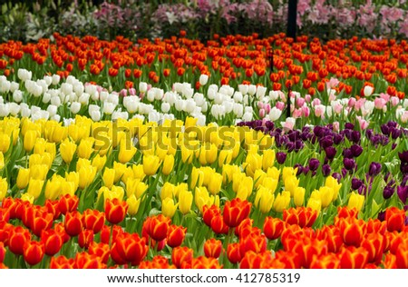 Close up of colorful tulip flowers blossom on springtime in flower garden