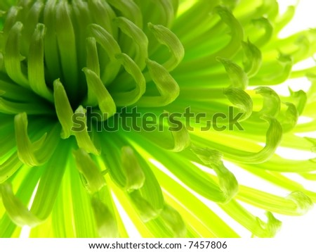 Close-up of colourful green aster to be used as a background - stock photo