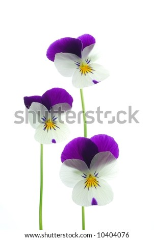close-up of colourful viola tricolor against white background - stock photo