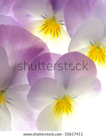 close-up of colourful viola tricolor as a background - stock photo