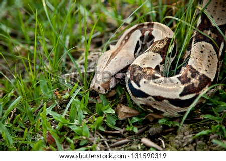Close up of Columbia boa constrictor. - stock photo