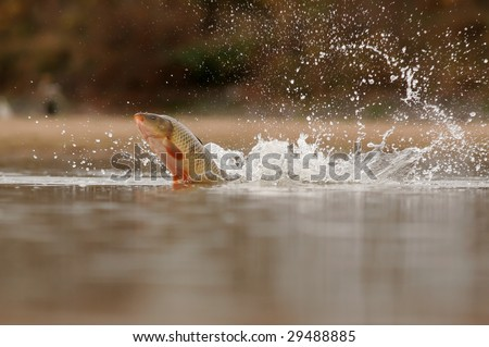Close up of Common Carp fish leaping out of water