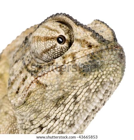 Close-up of Common Chameleon, Chamaeleo chamaeleon, in front of white background - stock photo