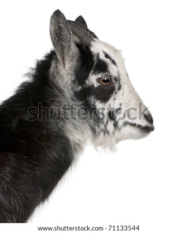 Close-up of Common Goat from the West of France, Capra aegagrus hircus, 6 months old, in front of white background