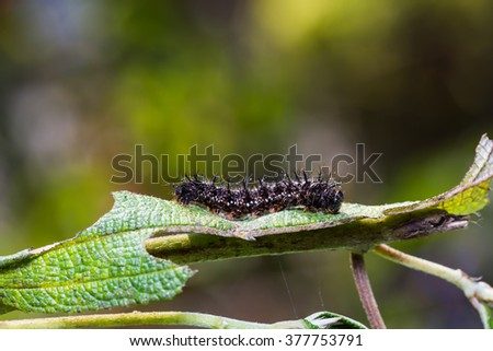 Close up of Common Jester (Symbrenthia lilaea) caterpillar on its host plant leaf in nature