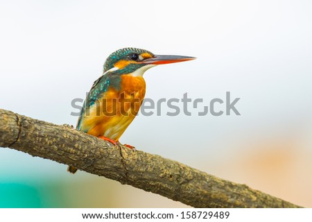 Close up of Common Kingfisher catch on the branch in nature  - stock photo