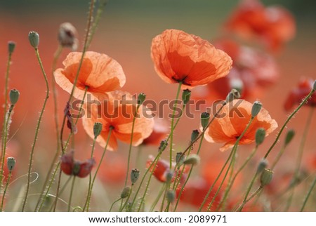 Close up of common poppies. - stock photo