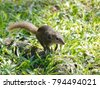 close up of common treeshrew ...