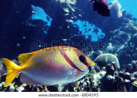 Close-up of Coral Rabittfish / Sinefoot (Siganus Corallinus) swimming over coral. - stock photo
