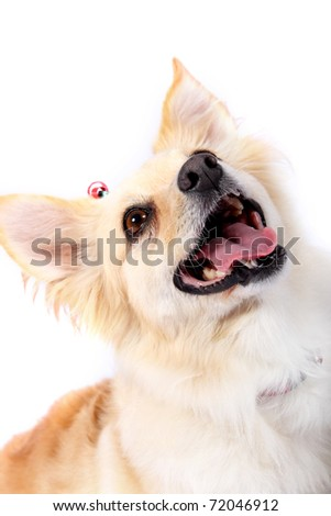 Close-up of Corgi dog breed looking up