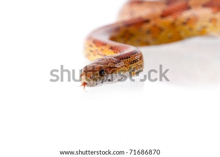 Close up of corn snakes (Pantherophis guttattus) on white background isolated, a lot of copysapce available, macrophotography - stock photo