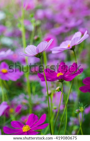 Close up of cosmos flowers, Thailand - stock photo