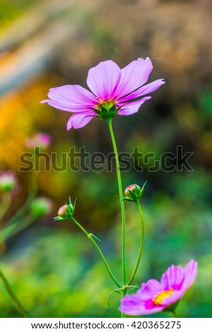 Close up of cosmos flowers, Thailand