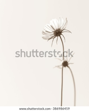 Close up of cosmos flowers with sky background in monochrome.