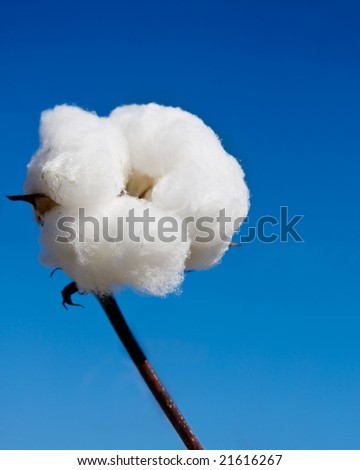 close up of cotton in the field and sky - stock photo