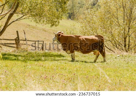 Close up of cow gazing on pasture in mountain region. - stock photo