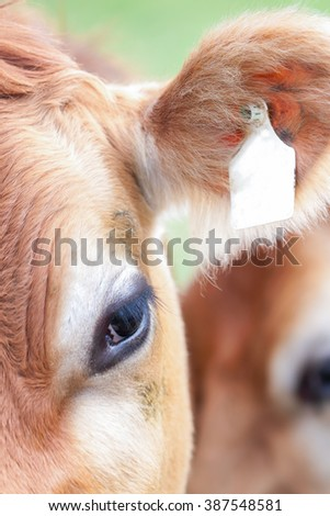 Close-up of Cow on Meadow in the Alps, Germany