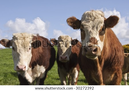 close up of cows in a field - stock photo