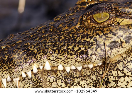 close up of crocodile - stock photo