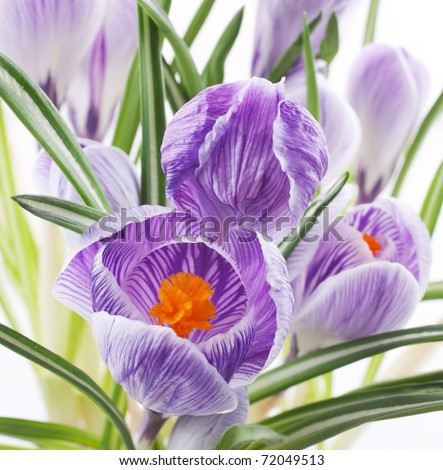 Close up of crocus flowers on white background - stock photo