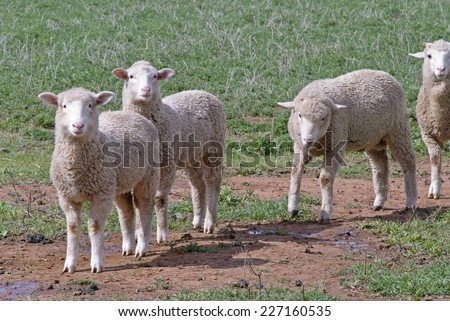 close-up of 4 crossbred lambs in rural pasture - stock photo