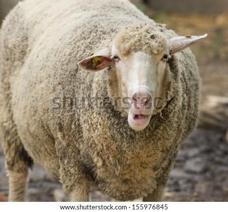 Close up of curious fat sheep - stock photo