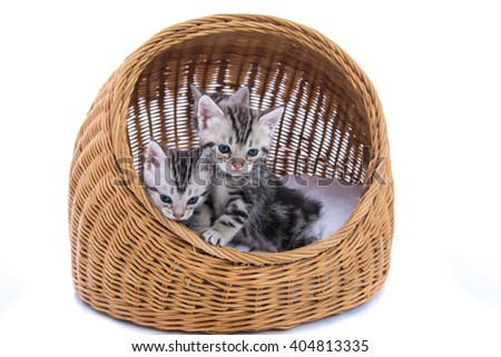 Close up of cute american shorthair kitten sitting in wooden basket on white background isolated.
