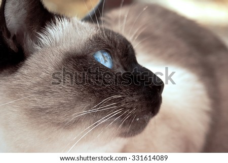 Close up of cute blue-eyed siamese cat. Selective focus - stock photo