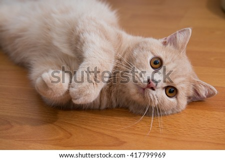 close up of cute cat lying on wooden floor - stock photo