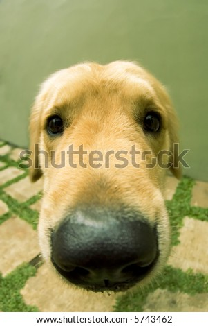 close up of cute doggy golden retriever photographed using fish eye lens
