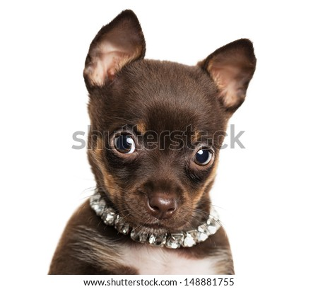 Close up of cute little chihuahua puppy isolated on white background - stock photo