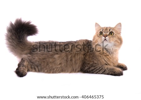 Close up of cute persian tabby cat on white background isolated. - stock photo