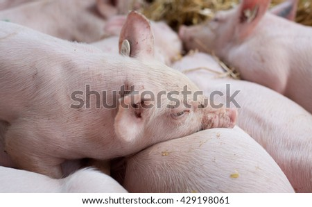 Close up of cute piglets sleeping on straw after suckling - stock photo