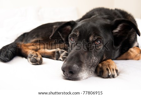 Close Up of Cute Shepherd Mix  Dog Laying in Bed - stock photo