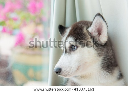 Close up of cute siberian puppy lying on the ground. - stock photo
